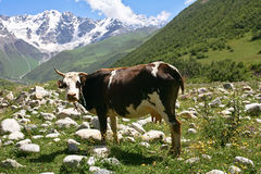 A cow in mountains Stock Images