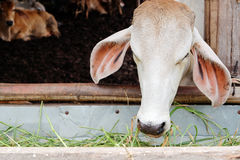 Cow feeding Stock Photos