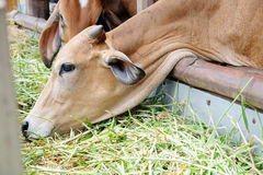 Cow feeding Stock Photography