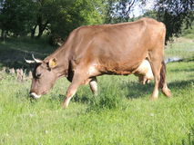 Cow. Feeding from a grass field Stock Image
