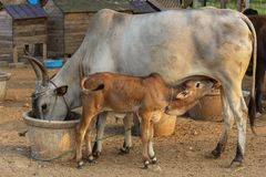 Cow feeding its calf while its eating its own food . eat well to feed your baby. Cow feeding its calf and cow eating as well . hungry cow and calf both eating stock images