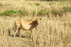 Cow feeding in rice field Royalty Free Stock Photography