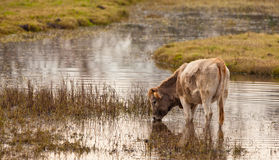 A Cow feeding in shallow water Stock Photography