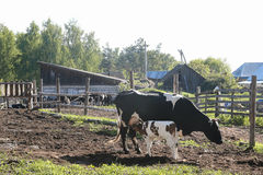 The cow feeds the calf milk from the udder - rural scene. In the village Stock Image