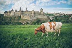 Cow on the feild with old castle on bcakground Stock Images