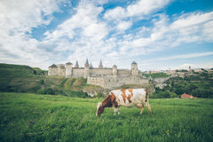 Cow on the feild with old castle on bcakground Royalty Free Stock Photography