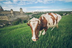 Cow on the feild with old castle on bcakground stock photography
