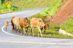 Cow ferd on the curve road Stock Photo
