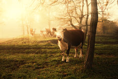 Cow. Few cows on morning pasture Stock Images