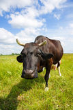 Cow on the field Stock Image