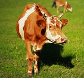 Cow on Field Royalty Free Stock Photos