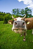 Cow on field. Close up of a funny grazing cow on a green field Royalty Free Stock Images