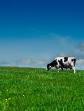 Cow in field. Black and White cow gently feeds in a lush green meadow Royalty Free Stock Images