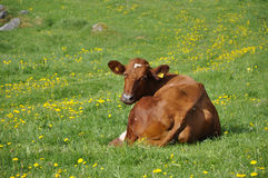 Cow in field Stock Photos