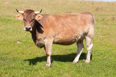 Cow in the field Royalty Free Stock Photo