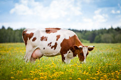 Cow In A Field stock images