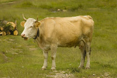Cow on the field Royalty Free Stock Images