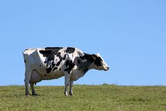 Cow in the field Stock Images
