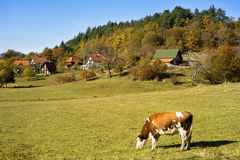 Cow  on a field Stock Photos