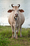 Cow in the field Royalty Free Stock Photography