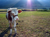 Cow in the field. Cow on the field under the morning sun Stock Photos