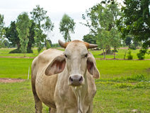 Cow in the  field Royalty Free Stock Image