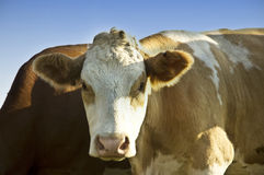 Cow in the field. A cow looking at the camera royalty free stock image
