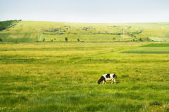 Cow in field. Cow eating in wild field of green grass Stock Photo