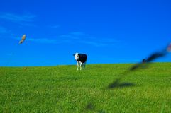 Cow in field 3 royalty free stock images