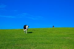Cow in field 4 Stock Photos