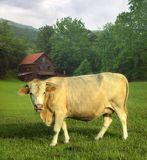 Cow in field. A creamy light colored female cow with horns stands in a grassy field with a wispy cloudy sky and a red old building in the background Royalty Free Stock Photography