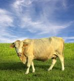 Cow in field. A creamy light colored female cow with horns stands in a grassy field with a wispy cloudy sky Royalty Free Stock Image