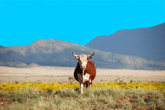 Cow in field. Front view of a brown and white cow standing on a meadow Stock Images