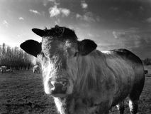 Cow in field Royalty Free Stock Images