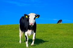Cow in field 5 (with ear tags) Royalty Free Stock Photography