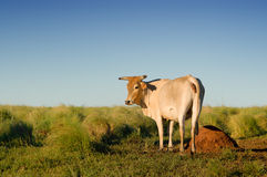 Cow in the field. With tall grass royalty free stock images