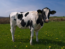 Cow in field Royalty Free Stock Photo