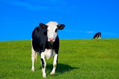 Cow in field 6 royalty free stock images