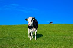 Cow in field 7 royalty free stock image