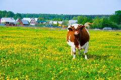 Cow in the field Royalty Free Stock Images