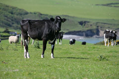 Cow in a field. Wales Pembrokeshire Royalty Free Stock Photos