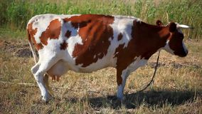 Cow in the field stock video footage
