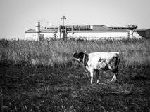 Cow in a field on a background plant in Central Russia. Industry and growing urbanization leads to the fact that traditional agriculture often coexists with Royalty Free Stock Photo
