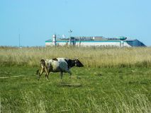 Cow in a field on a background plant in Central Russia. Industry and growing urbanization leads to the fact that traditional agriculture often coexists with Royalty Free Stock Images