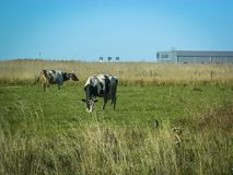 Cow in a field on a background plant in Central Russia. stock photography