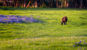 Cow in a Field of Bluebonnets Royalty Free Stock Photos