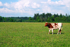 Cow on the Field, Bovine on the Skyline Royalty Free Stock Image