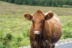 Cow in the field. Brown cow in the field stock image