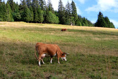 Cow on the field Royalty Free Stock Image