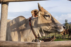 Cow on field Stock Images